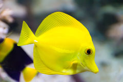 Zebrasoma yellow tang fish Royalty Free Stock Image