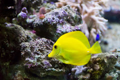 Zebrasoma yellow tang fish Stock Photo