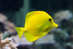 Zebrasoma yellow tang fish Royalty Free Stock Images