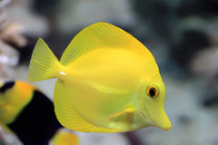 Zebrasoma yellow tang fish Stock Images