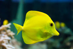 Zebrasoma yellow tang fish Royalty Free Stock Photos