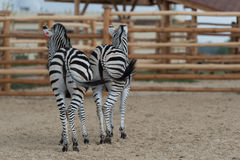 Zebraspaar Stock Fotografie