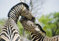 Zebrasspielen Lizenzfreies Stockbild