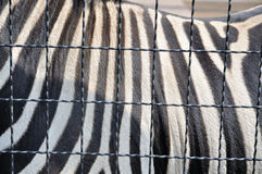 Zebrastreifen Stockbilder