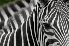 Zebrastreifen lizenzfreie stockfotos