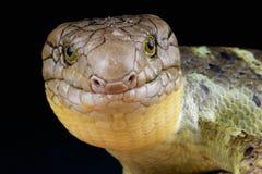 Zebrata d'île Salomon Skink/Corucia photos stock