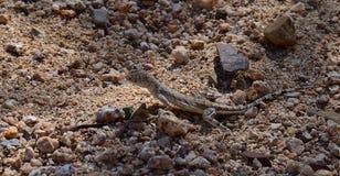 Zebratail蜥蜴 库存照片