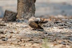 Zebrataube, die seine Schwanzfeder säubert Stockfotografie