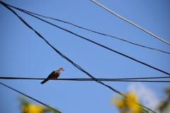 Zebratauben, die auf elektrischer Leitung stillstehen Stockfotografie