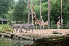 Zebratrinken und -giraffe Baum essend Lizenzfreies Stockfoto