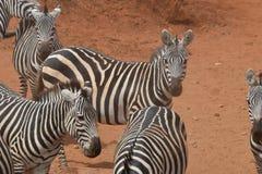 Zebraversammlung im Staub stockfoto