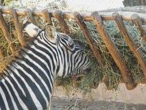 Zebre äter i zoo Royaltyfri Fotografi
