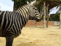 Zebre Photos stock