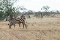 Zebre Photo libre de droits