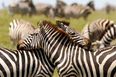 Zebre abbracciate di amore Immagine Stock Libera da Diritti