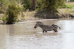 Zebre in acqua nel parco nazionale di Tarangire, Tanzania Fotografia Stock