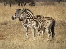 Zebre africane Immagini Stock Libere da Diritti