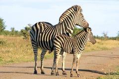 Zebre africane selvagge Fotografie Stock