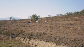 Zebre africane selvagge Graze In The Meadow During il periodo di siccità nella riserva video d archivio
