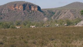 Zebre africane selvagge Graze On The Plain In il periodo di siccità nella riserva video d archivio