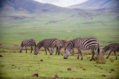 Zebre al parco nazionale del cratere di Ngorongoro Fotografie Stock