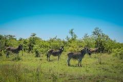 Zebre al parco nazionale di Kruger Immagine Stock