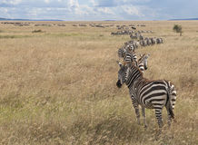 Zebre alla sosta nazionale di Serengeti, Tanzania Fotografia Stock Libera da Diritti