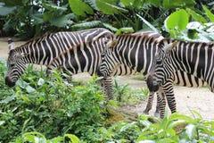 Zebre allo zoo Fotografia Stock Libera da Diritti