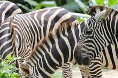 Zebre allo zoo Fotografia Stock