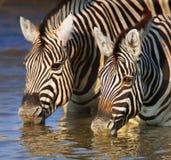 Zebre che bevono primo piano Immagine Stock