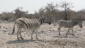 Zebre che camminano nella savanna africana asciutta video d archivio