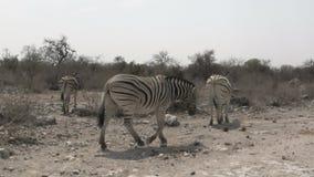 Zebre che camminano nella savanna africana asciutta archivi video