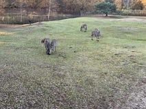 Zebre che mangiano erba immagini stock libere da diritti