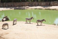 Zebre che pascono nel lago Fotografie Stock