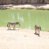 Zebre che pascono nel lago Immagini Stock
