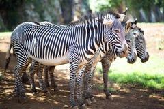 3 zebre che stanno insieme Immagini Stock Libere da Diritti