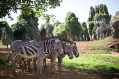 3 zebre che stanno insieme Fotografia Stock Libera da Diritti