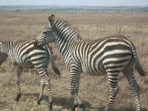 Zebre che vagano Immagini Stock Libere da Diritti
