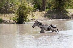 Zebre da acqua nel parco nazionale di Tarangire, Tanzania Fotografia Stock