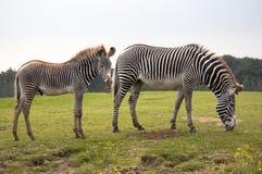 Zebre del Grevy Fotografia Stock