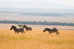 Zebre delle pianure Immagini Stock Libere da Diritti