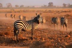 Zebre delle pianure Fotografie Stock