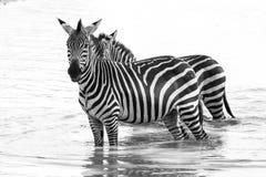 Zebre di B&W in acqua nel parco nazionale di Tarangire, Tanzania Immagini Stock Libere da Diritti