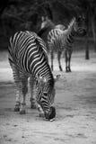Zebre di Black&White Fotografia Stock