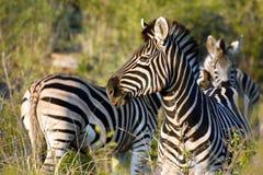 Zebre di Burchell Immagine Stock