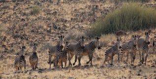 Zebre di montagna immagini stock libere da diritti