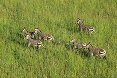 Zebre di montagna di Hartmanns Immagine Stock Libera da Diritti