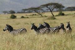 Zebre di Serengeti Fotografia Stock Libera da Diritti