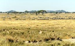 Zebre e cinghiali Fotografia Stock