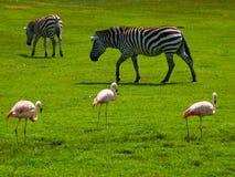 Zebre e fenicotteri Fotografie Stock